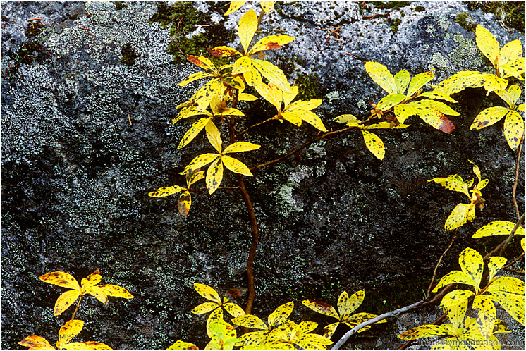Fall Leaves, Granite: Near Joffre Lakes, BC, Canada (2002-00-00) - Fine art nature photograph of brilliant yellow leaves splayed against dark granite