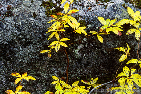 Fine art nature photograph of brilliant yellow leaves splayed against dark granite