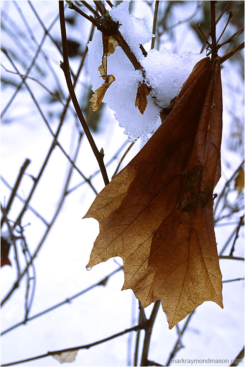 Faded Maple Leaf, Snowy Day: Squamish, BC, Canada (2002) - Fine art photo of a faded maple leaf hanging in bare branches against a brilliant background of snow