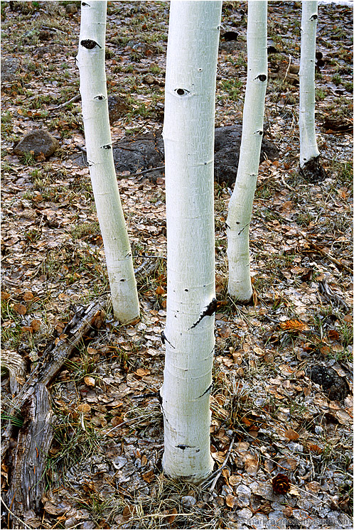 Four White Trees: Near Bryce Canyon, UT, USA (2003) - Fine art photograph of four slender aspen trees on a leafy forest floor