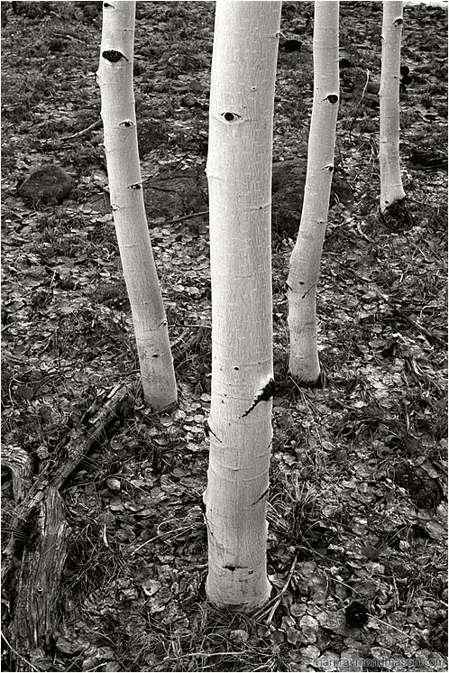 Four White Trees (B&W): Near Bryce Canyon, UT, USA (2003) - Fine art black and white photograph of four white tree trunks in a forest carpeted with silver dried leaves