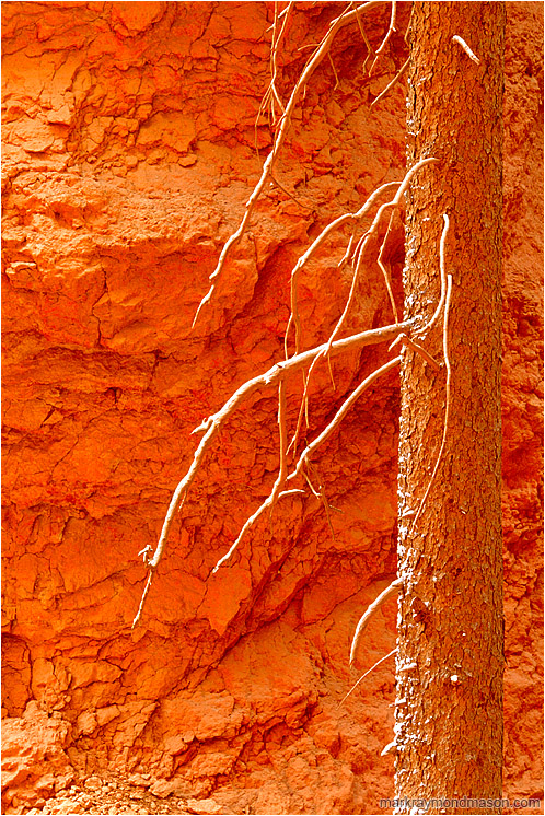 Orange Rock, Snowy Snag: Bryce Canyon, UT, USA (2003-00-00) - Abstract photograph showing snow coating the branches of a dead snag at the bottom of a sandstone canyon