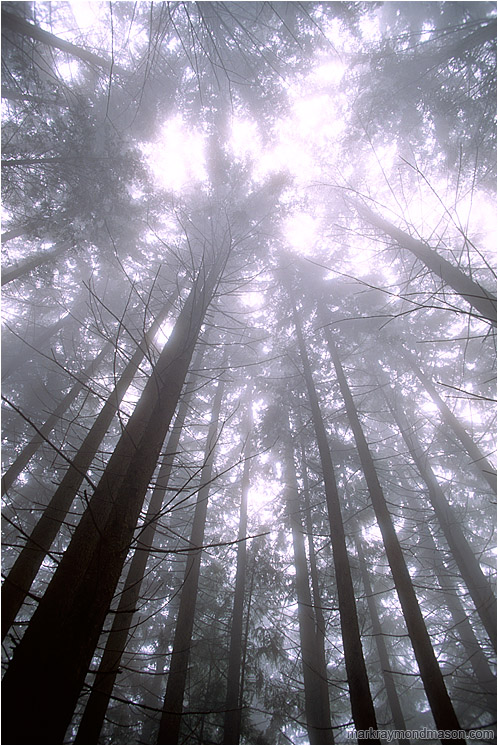 Soaring Trees, Fog: Seymour Park, BC, Canada (2003) - Abstract photo looking up through bright mist at the treetops