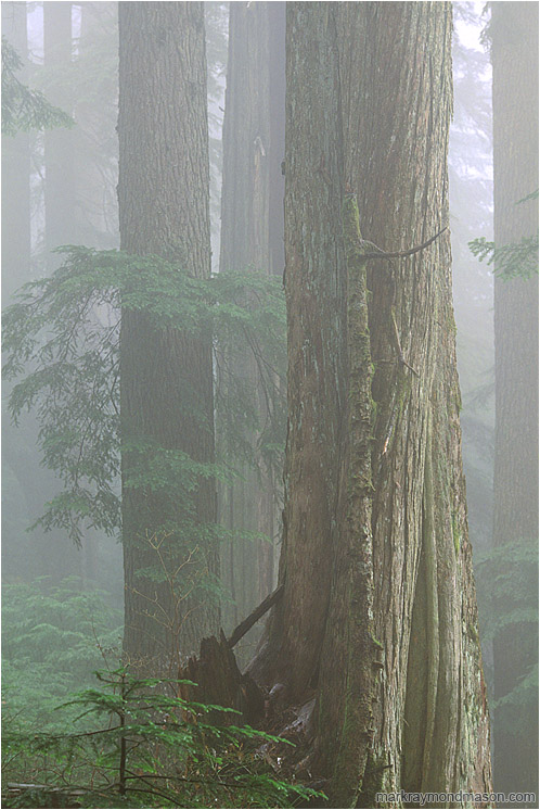 Forest, Fog: Seymour Park, BC, Canada (2003) - Fine art photograph showing a misty rainforest, the trees fading into a foggy background