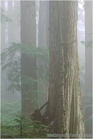Fine art photograph showing a misty rainforest, the trees fading into a foggy background