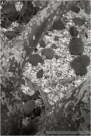 Black and white fine art photograph looking down through the branches of a large tree at pale white leaves on the floor of the forest