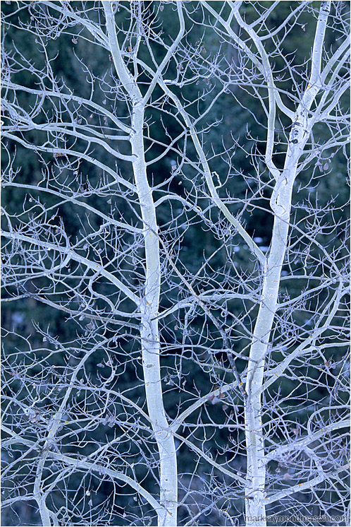 Brilliant Branches: Near Princeton, BC, Canada (2004-00-00) - Abstract photograph showing a cluster of luminescent tree branches against a dark background