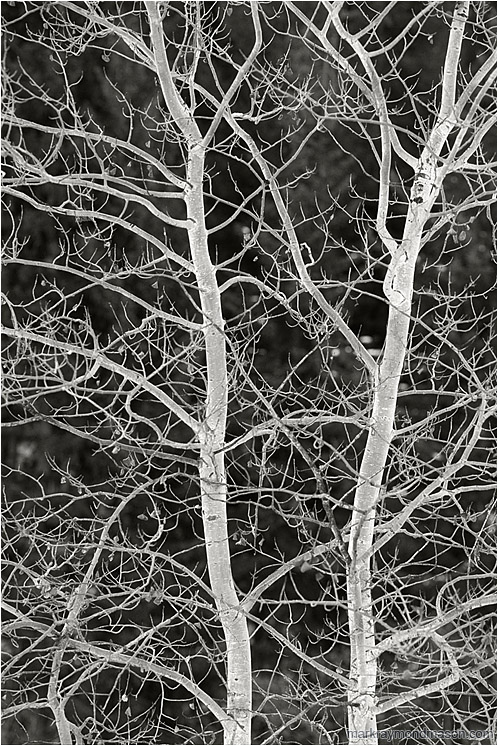 Brilliant Branches (B&W): Near Princeton, BC, Canada (2004-00-00) - Fine art black and white photograph of brilliant white frozen tree branches, lit from below by the white light of reflections from the snow