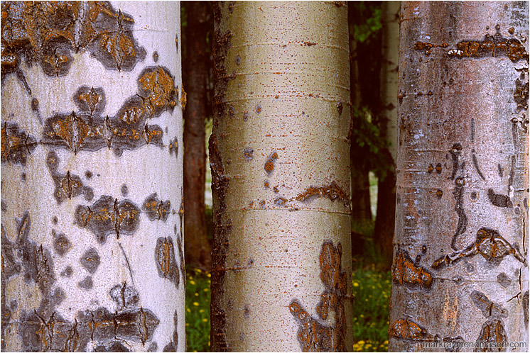 Mottled Aspens: Near Princeton, BC, Canada (2005) - Fine art macro photograph of varied and colourful textures in three aspen trunks, and a blurry flower meadow background