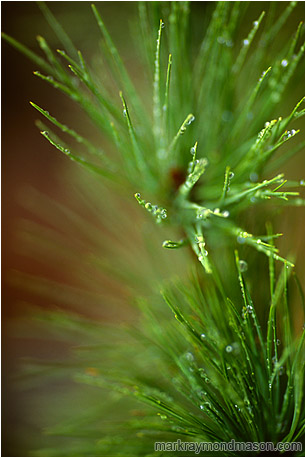 Fine art macro nature photograph of delicate rain drops coating pine needles after a severe rainstorm