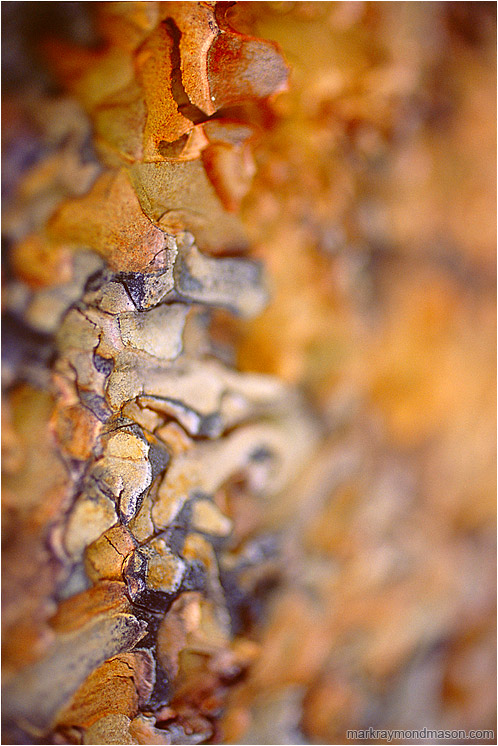 Colourful Bark: Near Princeton, BC, Canada (2007-00-00) - Abstract fine art photograph showing waves of blurry, multi-coloured pine bark