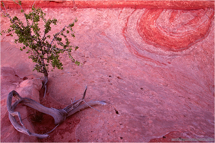 Swirled Sandstone, Tiny Tree: Escalante Region, UT, USA (2007-00-00) - Fine art photograph of a tree growing out of colourful, wind-eroded sandstone