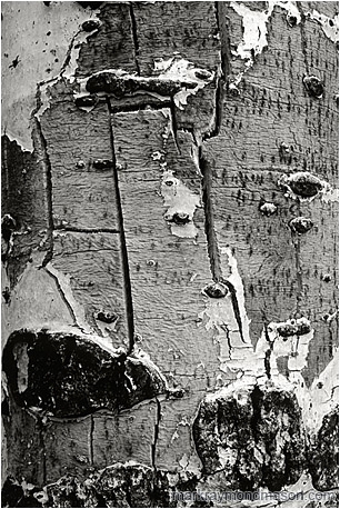 Abstract black and white photograph showing pale bark on the trunk of a aging, dying tree
