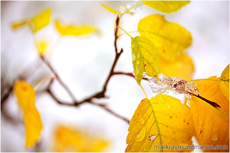 Fine art macro photograph showing blurry, blushing fall leaves against a blanket of white snow