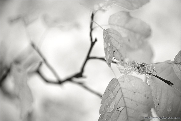 Fall Leaves, Stems (B&W): Kananaskis, AB, Canada (2007-00-00) - Fine art black and white photograph showing pale, blurry leaves against a backdrop of pure white snow