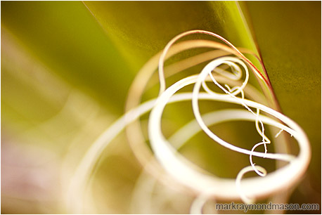 Fine art nature photograph of curled white yucca fibres, with a background of blurred yellow-green stems