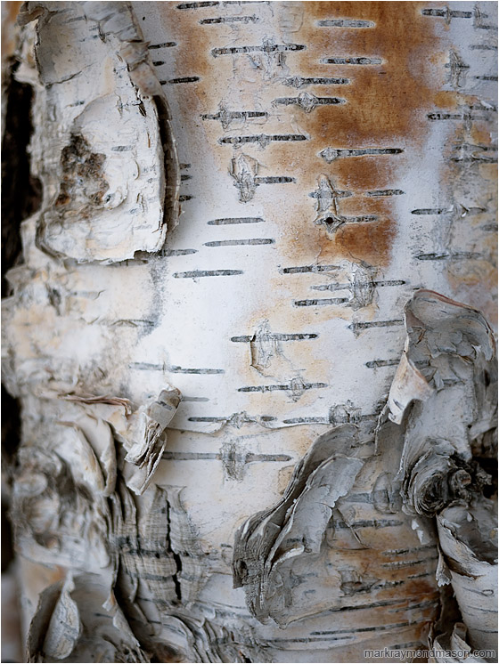 Stained Bark, Shadows: Near Dawson, YT, Canada (2010) - Fine art photograph of curled, stained birch bark in white light, set against threatening black shadows