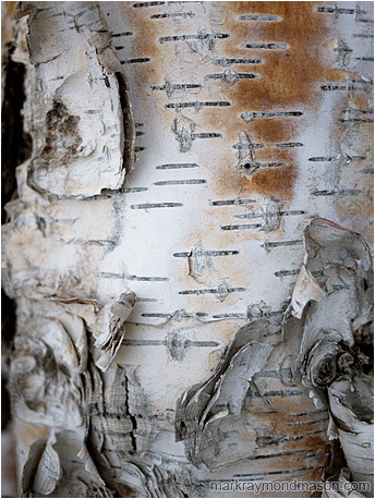 Fine art photograph of curled, stained birch bark in white light, set against threatening black shadows
