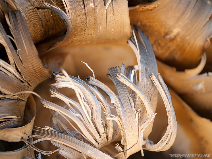 Curled Yucca Bark: Joshua Tree, CA, USA (2012) - Abstract photo of yucca bark, dried and curled upwards like flames