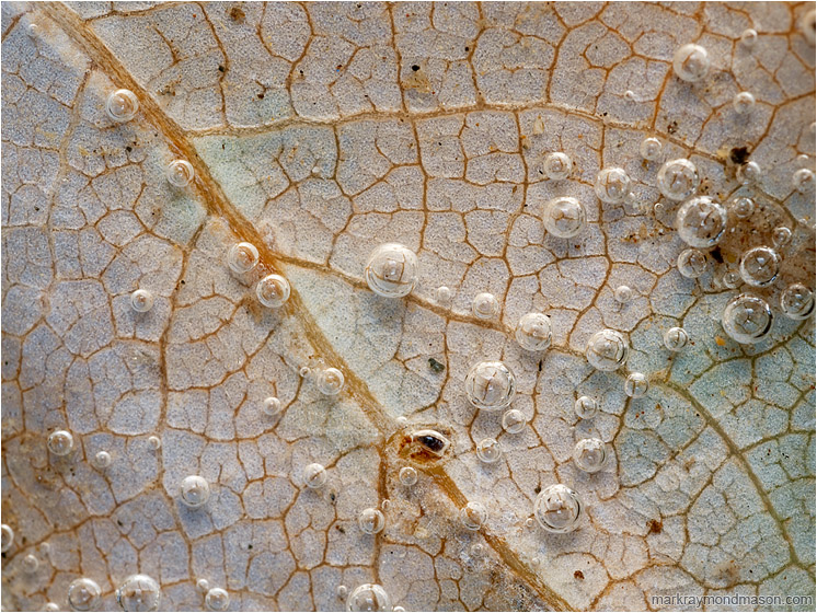 Leaf Veins, Clustered Bubbles: Near Manning Park, BC, Canada (2012) - Abstract macro photograph showing bubbles clinging to the surface of a submerged leaf like tiny lenses