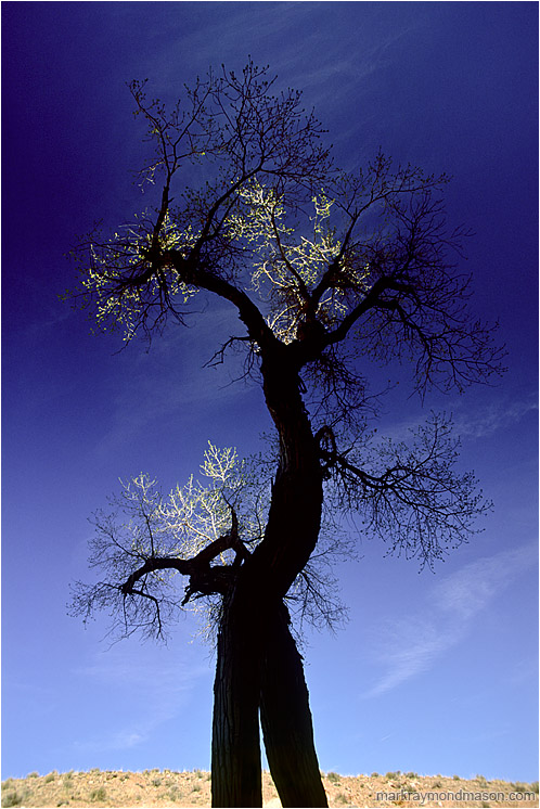 Dancing Tree, Highlights: Little Wildhorse Canyon, UT, USA (2003-00-00) - Abstract nature photograph of a twisted tree trunk and highlighted leaves against a dark blue sky