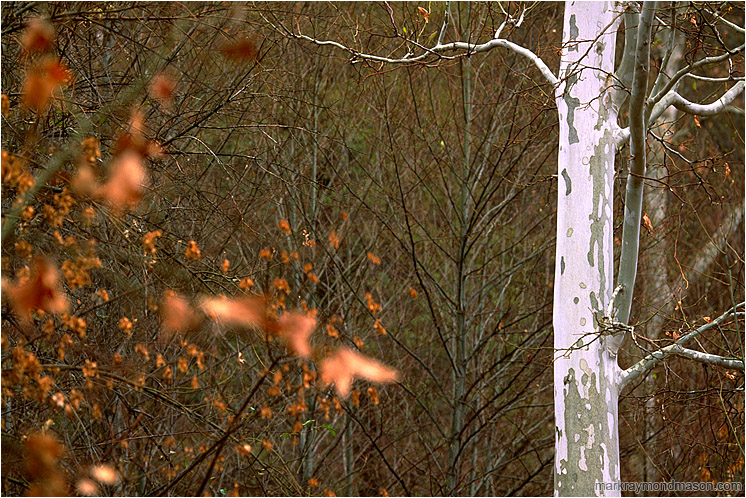 White Tree, Red Leaves: Near Flagstaff, AZ, USA (2003) - Fine art photograph showing a white tree trunk set against brambles and blurry red leaves