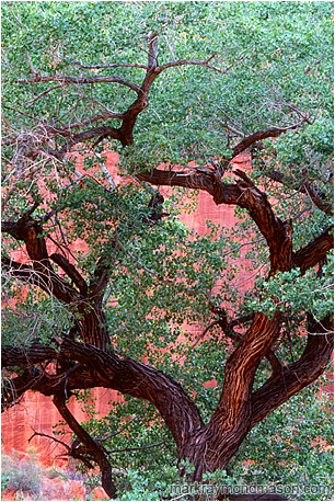 Fine art photograph of a massive, twisted tree at the bottom of a bright red sandstone canyon