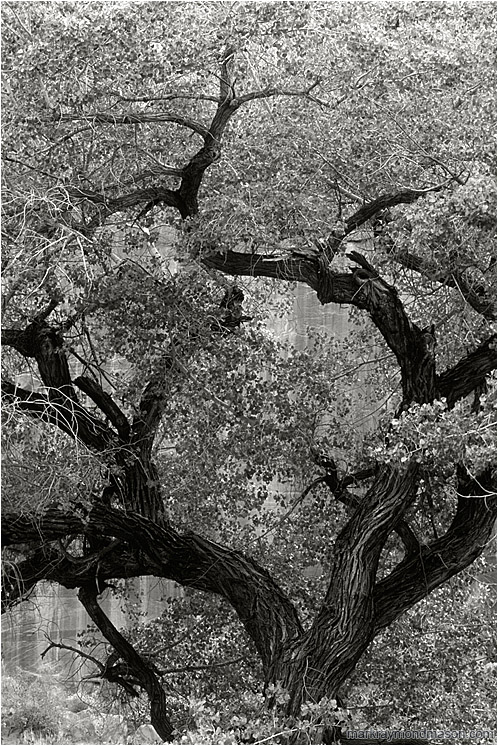 Mighty Tree, Red Cliffs (B&W): Escalante Region, UT, USA (2007-00-00) - Fine art black and white photograph of a large tree set against the walls of a sandstone canyon