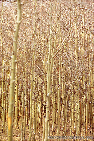 Fine art photograph of a warmly lit forest of aspens with light snow on their tangled branches