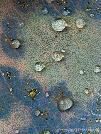 Fine art macro photo of perfect round water beads, some tinted yellow, on the faded surface of a veiny leaf