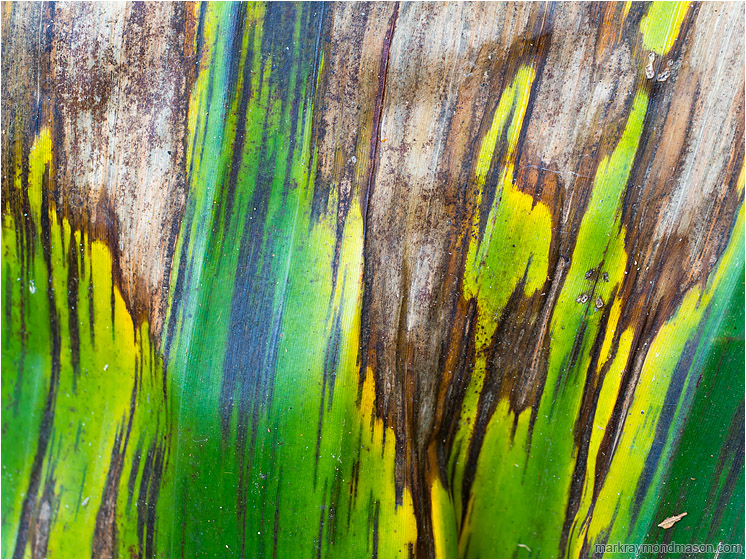 Blighted Palm Leaf: Near Atenas, Costa Rica (2013-01-04) - Abstract photograph showing streaks, colours and texture in a dying blighted palm leaf