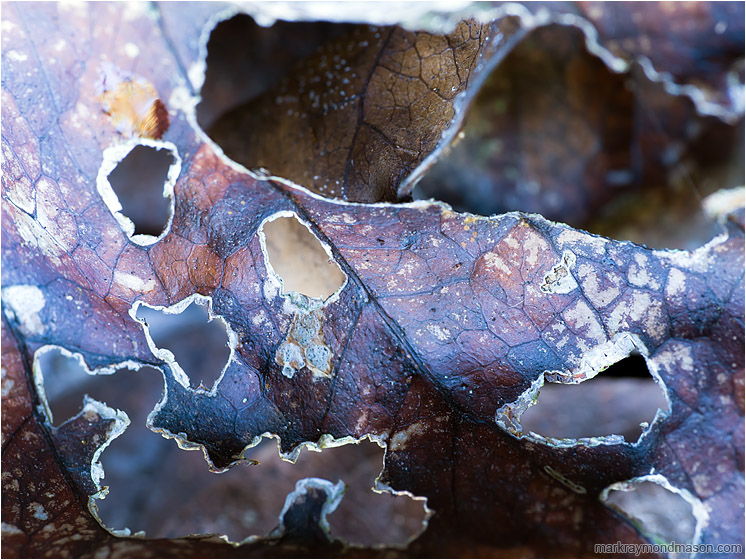 Leathery Leaf: Near Montezuma, Costa Rica (2013-01-07) - Fine art abstract photograph of a dead curled leaf, chewed into lattice by carpenter ants