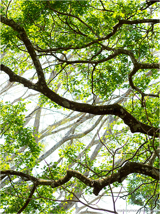 Bright Leaves, Layered Branches: Atenas, Costa Rica (2013) - Fine art photograph of layers of tree branches, highlighted by sunlight and framed by bright leaves