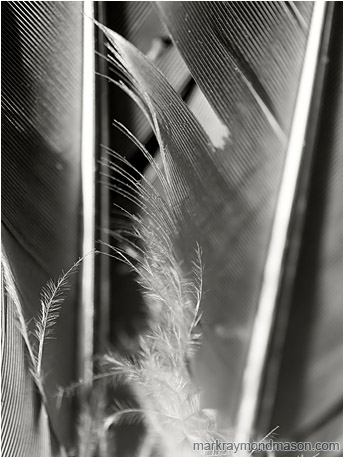 Fine art black and white photo of fine details and texture in a feather found near a dead bird in the desert