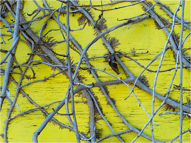 Woven Vines, Dried Leaf: Vancouver, BC, Canada (2013-06-13) - Abstract photograph of creeping vines growing on a grotesque yellow painted plywood wall