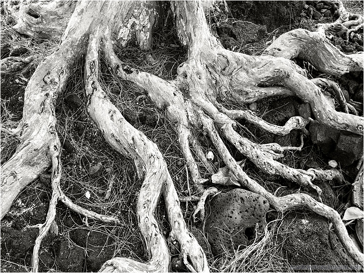 Crawling Roots, Lava Rocks: Hilo, HI, USA (2016-02-03) - Black and white photo of dried white tree roots sprawling through a field of black, sea-worn lava rock