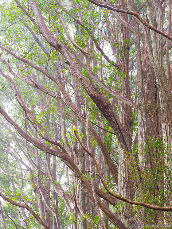 Angled Branches, Mist: Near Waimea, HI, USA (2016) - Fine art photo showing tall trees with slender angled branches and bright leaves against a backdrop of thin fog