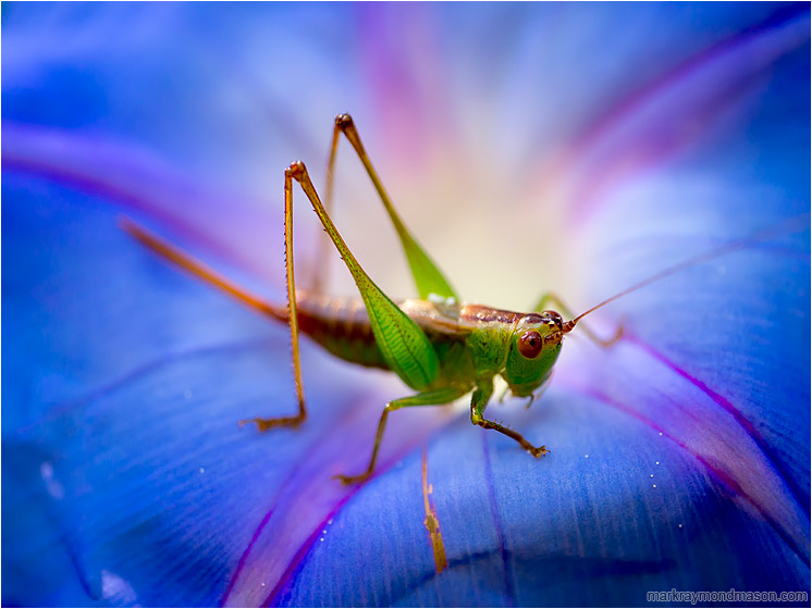 Locust, Iridescent Flower: Near Waimea, HI, USA (2016) - Fine art macro photograph showing a grasshopper set against a backdrop of a brilliant flower petal
