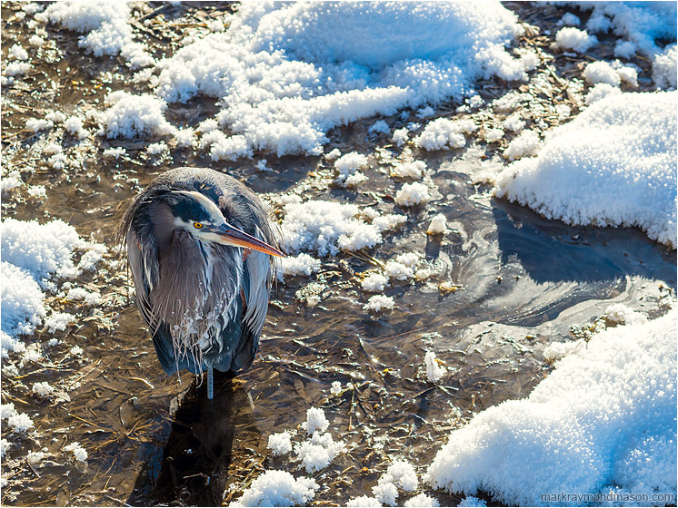 Heron, Frost: Salmon Arm, BC, Canada (2017-01-12) - Fine art wildlife photograph showing a Great Grey Heron standing in swampy water, surrounded by bright hoar-frost and sun-lit snow