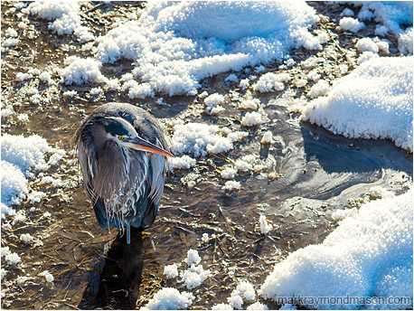 Fine art wildlife photograph showing a Great Grey Heron standing in swampy water, surrounded by bright hoar-frost and sun-lit snow