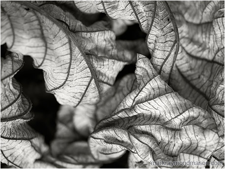 Abstract black and white photograph showing a curled, dried leaf, in beautiful soft light with a velvet black background
